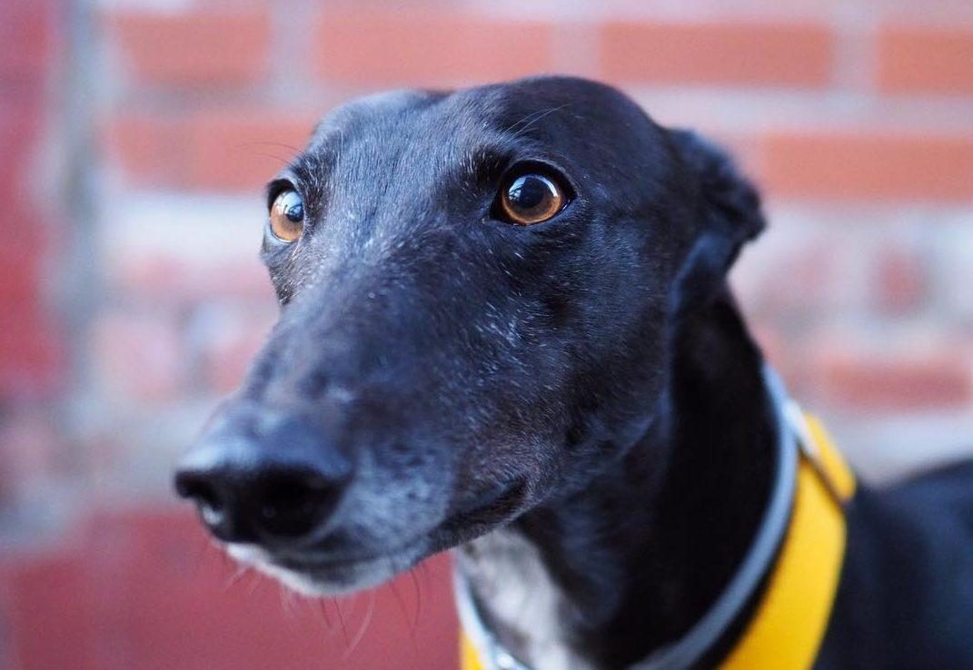 Adopting a Greyhound - Lucy's Story