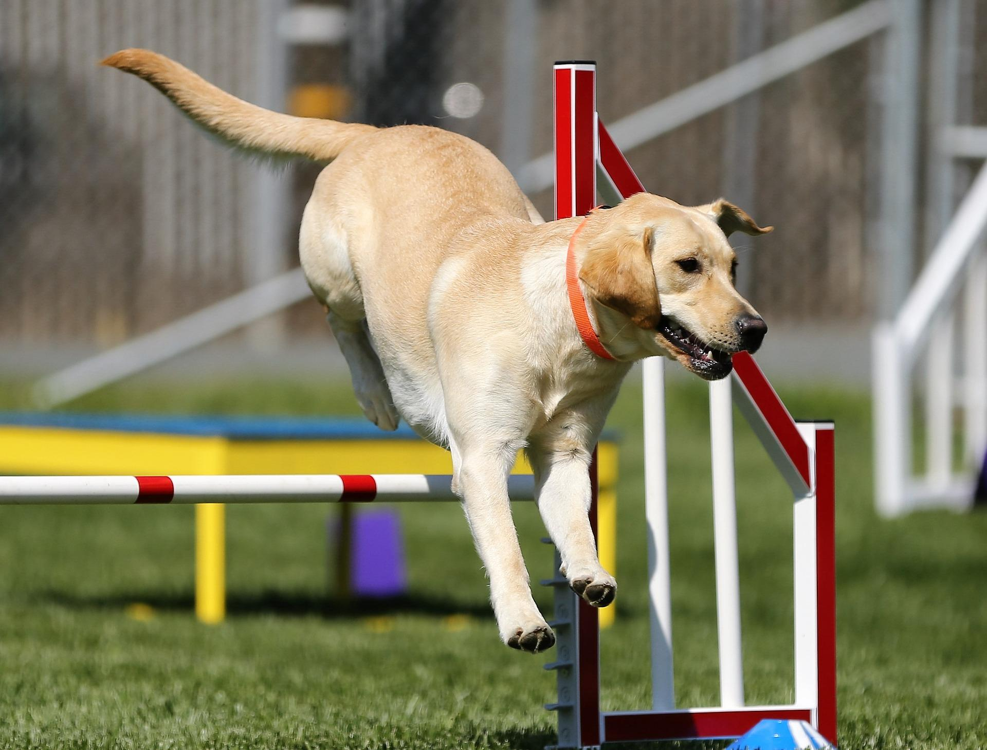 Agility - Sports For Dogs - Dog Furiendly