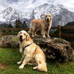 Goldenbrothers - Skye and Oscar