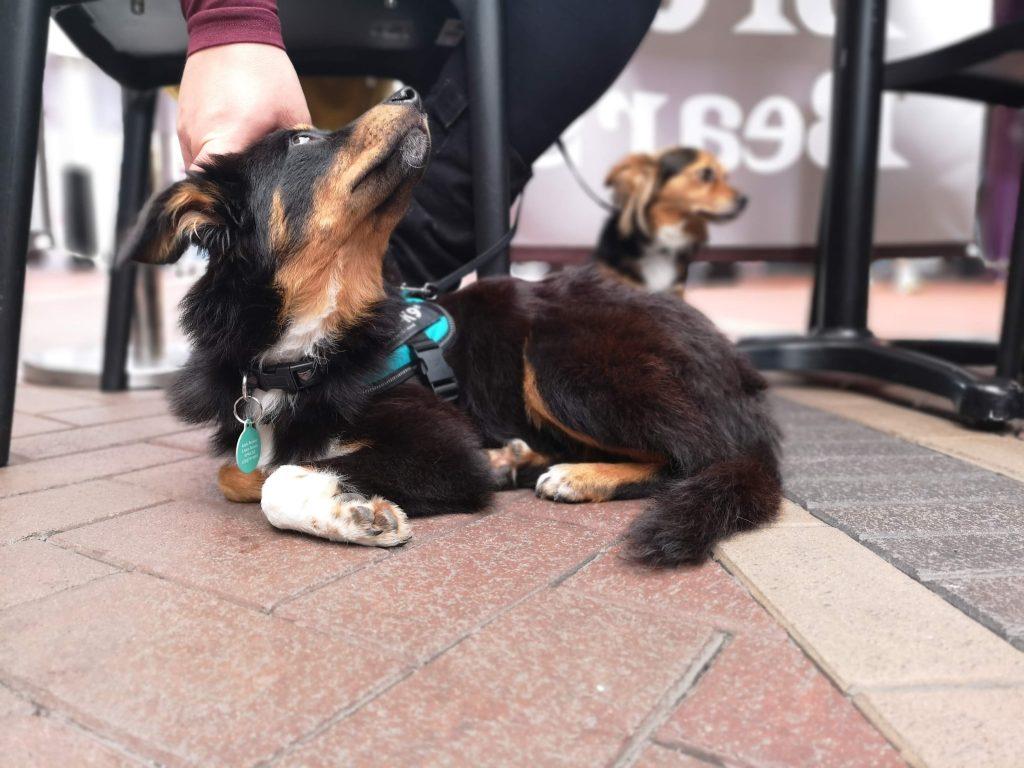 Adopting a Romanian Rescue Dog