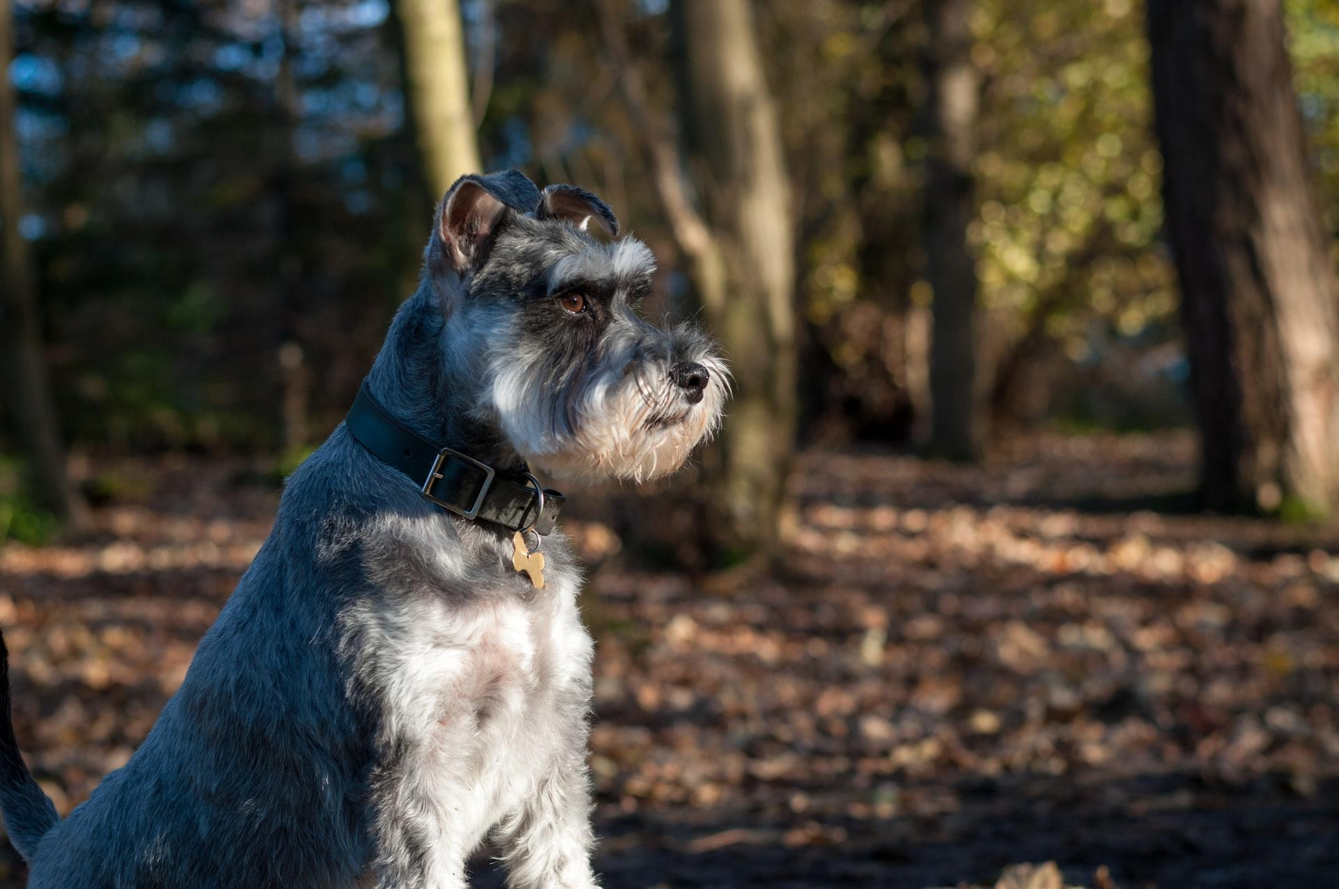 15 Super Schnauzer Gifts For Schnauzer Dog Lovers