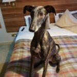 Millie the Galgo