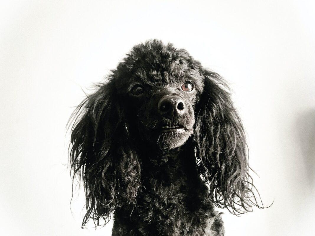 15 Perfect Poodle Gifts For People Noodles For Poodles