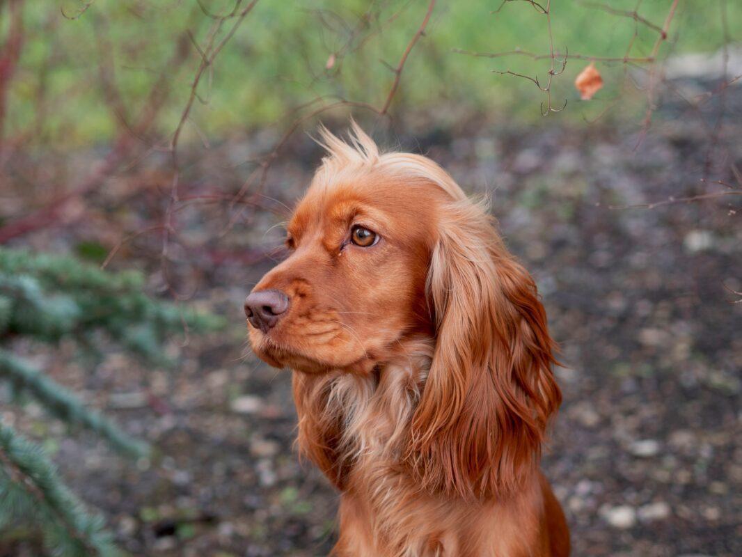 15 Cocker Spaniel Gifts For Smitten Spaniel Lovers